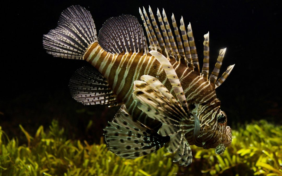 Lionfish in Sealife London