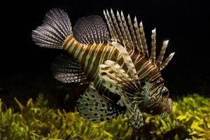 Lionfish in Sealife London