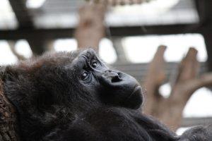 Gorilla at the London Zoo