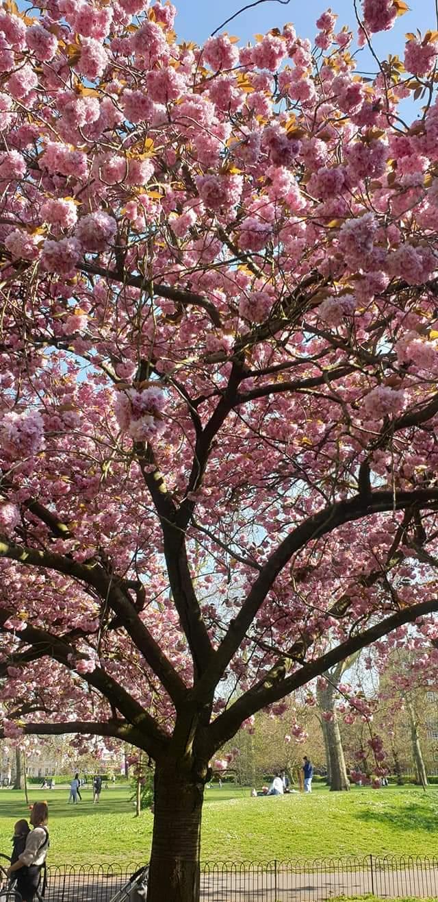 Cherry Blossom tree in Kensington Gardens