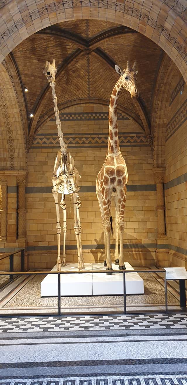 Giraffe and giraffe skeleton